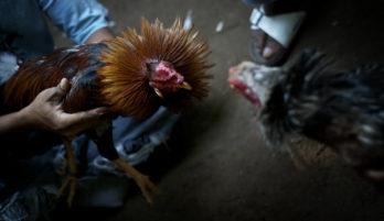 Tips Main Sabung Ayam Online